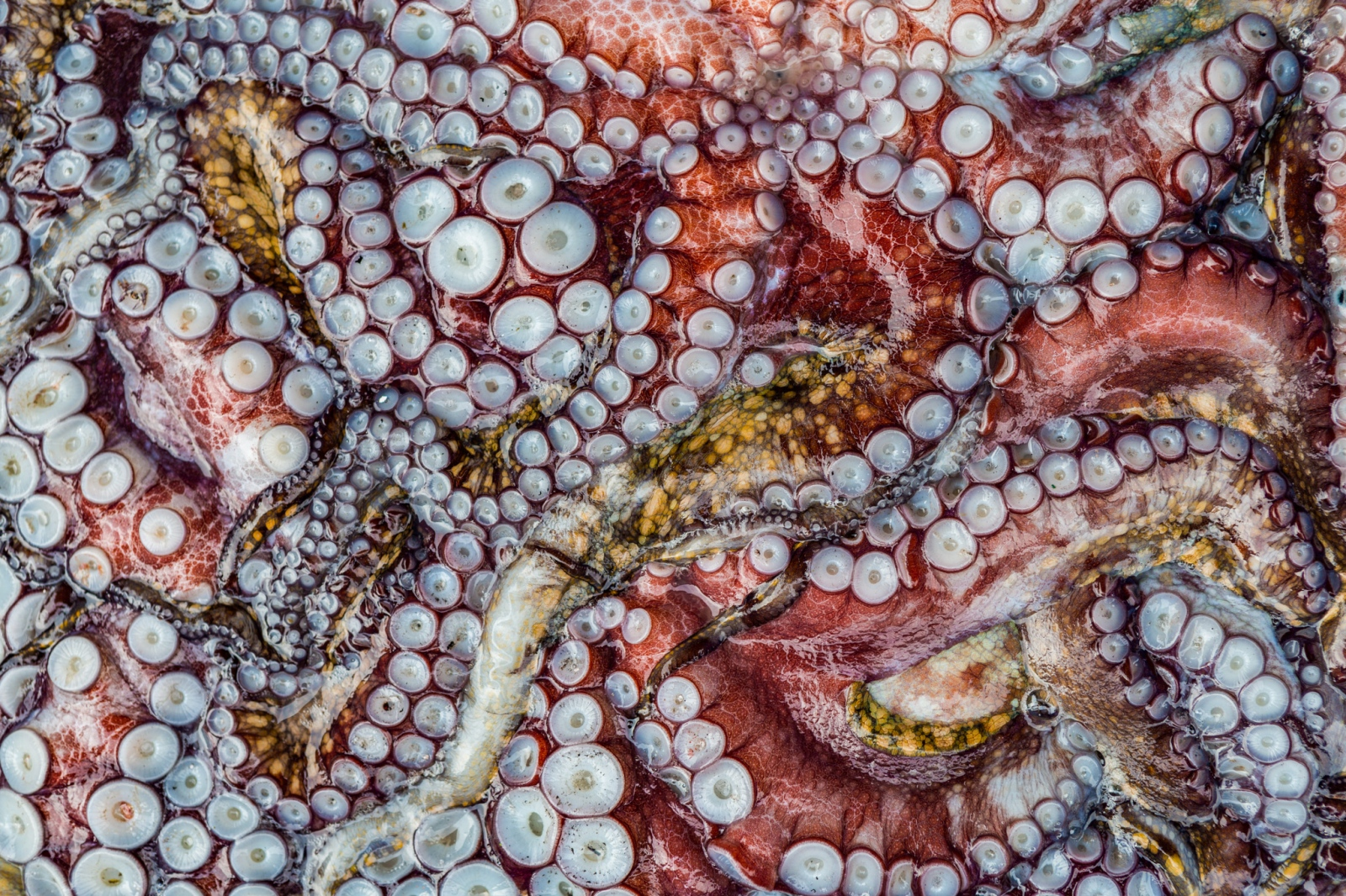 Octopus in a fish market in Ancón, Peru. From a personal project on new models in fisheries management.