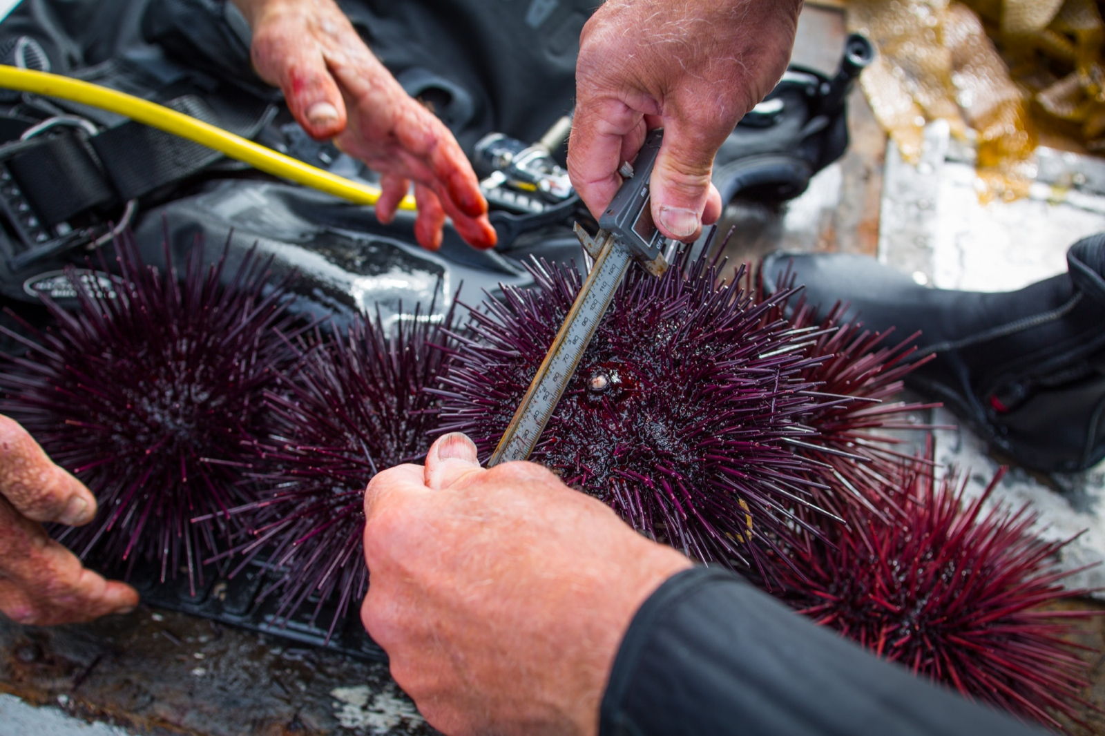 Sea urchin divers in San Diego voluntarily documenting their catch, gathering baseline population data in preparations for future regulations. From a personal project on new models in fisheries management.